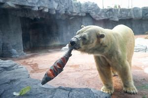 Inuka enjoying a treat on Dec 22, 2016, for his 26th birthday.