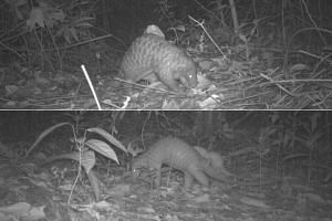 (Top) A sunda pangolin spotted near Sime Trail on a camera trap on Dec 12, 2016, before drilling works started nearby for site investigation. (Above) a sunda pangolin mother and juvenile spotted near Sime Trail on a camera trap on Oct 1, 2017, after
