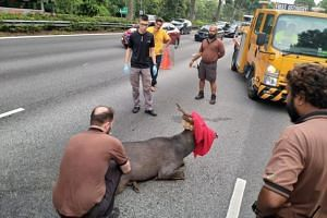 Due to the large size of the deer, the Wildlife Reserves Singapore was alerted and a team was able to safely contain the injured animal at about 7.30am, on June 17, 2018.
