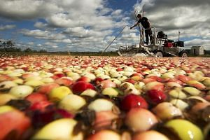 Cranberry harvest in Massachusetts. The cranberry sector is among those hit by China's tariffs on commodities in response to actions by the Trump administration.