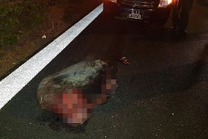 Photos circulating on social media show the aftermath of an accident on the Bukit Timah Expressway near the Mandai Road exit on Thursday night. The Straits Times understands that the wild boar was struck by two cars travelling in the rightmost lane o