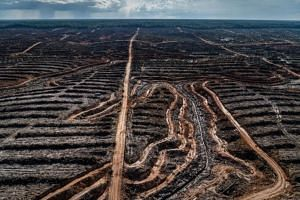 An oil palm plantation under development in Papua where thousands of hectares of forest have been cleared.