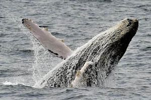 The humpback whale is one of the key species that has been saved from extinction thanks to the 1973 Endangered Species Act.
