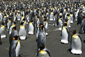 File photo showing the largest colony of king penguins in the world on the Ile aux Cochons in the sub-Antarctic archipelago of Crozet, which has decreased by nearly 90 percent in the last 35 years.