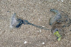 Blue bottle jellyfish, also known as Portuguese man-of-war, tend to come to the shores for reproduction during mid-monsoons in Mumbai in west India.