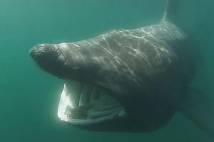 The basking shark, or Cetorhinus maximus, is an enigma for scientists eager to help preserve the plankton-eating giant after centuries of overfishing.