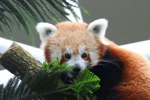 The two-year-old red panda, named Keta, arrived in Singapore in January from Melbourne Zoo.