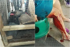 The wild boar was tranquillised and captured after it ran into a condominium. It had earlier attacked an administrator from Punggol Secondary School (right).
