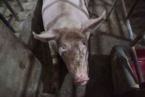 China, the world's largest pork producer and consumer, reported its first case of African swine fever in August in northeastern Liaoning province.