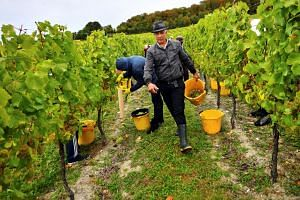 Migrant workers picking grapes at Chapel Down Winery's Kit's Coty vineyard in Aylesford, Kent, on Oct 2, 2018.