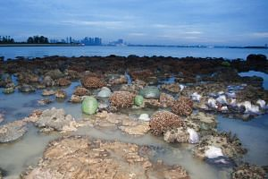 Coral reefs seen near Pulau Semakau. At low tide, one will find the island as well as the waters around it teeming with life, said marine biologist Huang Danwei.