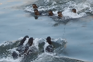 The Bishan and Marina otters were shown baring their teeth and squeaking loudly at each other during their clash in the Kallang Basin on Oct 24, 2018.