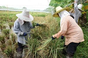 Workers harvesting rice in Thailand (above), using their sickles, before the threshing and winnowing. With climate change, rising sea levels are threatening rice fields and the region's supply of the grain will come under more pressure.