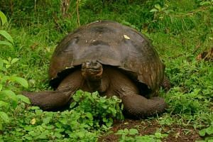 Giant tortoises, which can live for over 100 years in captivity, arrived in the volcanic Galapagos region three to four million years ago.