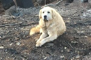 Almost a month after the deadly California Camp Fire, Madison was reunited with his owner and brother. PHOTO: FACEBOOK/SHAYLA SULLIVAN