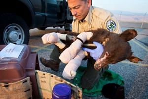 Biologist Rich Beausoleil rescued bear cub Cinder after the wildfire in 2014.
