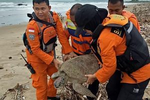 Rescuers carrying a stranded sea turtle on the beach in Kalianda, which was found washed ashore after the tsunami. About 15 turtles were rescued this week.