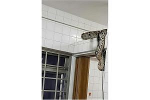 The reticulated python was found coiled around a beam in the toilet.