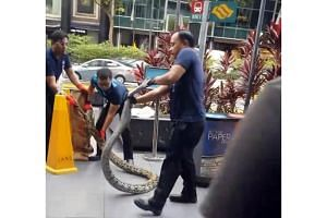 A clip of the incident shows the python attacking one of the men from a pest control firm. The Animal Concerns Research and Education Society believes the man was bitten.