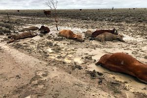 Cattle in a flooded area near Julia Creek township in Queensland state on Feb 7. The recent downpours have seen some areas get a year's worth of rainfall in just a week.