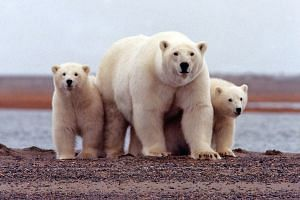 Polar bears are affected by global warming with melting Arctic ice forcing them to spend more time on land where they compete for food.