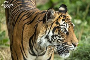 The match was organised as part of a Europe-wide conservation programme for Sumatran tigers, an endangered subspecies.