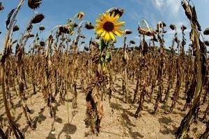A sunflower blooms in between dried-out ones during hot summer weather on a field near the village of Benken, Switzerland, on Aug 6, 2018.