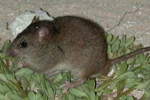 The decision to declare the Bramble Cay melomys extinct came three years after the Queensland government reached the same conclusion and 10 years after it was last spotted.