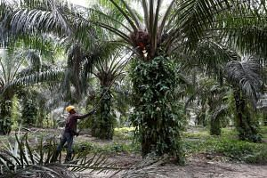 A worker collects fruits from an oil palm at a plantation in Bahau, Negeri Sembilan, Malaysia, on Jan 30, 2019.