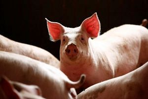 Once an outbreak of African swine fever is confirmed, all pigs on the farm, as well as any within a 3km radius, must be culled and disposed of, according to Chinese law, and farmers should be paid 1,200 yuan per pig culled.