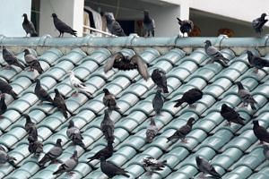 The National Parks Board conducts surveillance at pigeon-feeding hot spots and partners the National Environment Agency and town councils to educate residents about the environmental health and hygiene concerns around feeding pigeons.