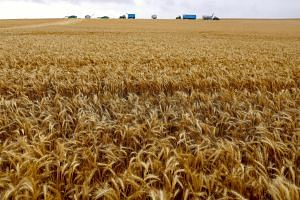 A wheat crop in a paddock located on the outskirts of the South Australian town of Jamestown.