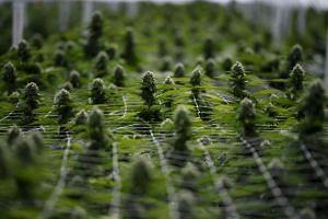 Marijuana plants grow in a greenhouse in Uruguay on April 17, 2019.