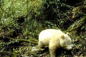 The spotless, red-eyed animal was photographed while trekking through the forest mid-April in southwestern Sichuan province.