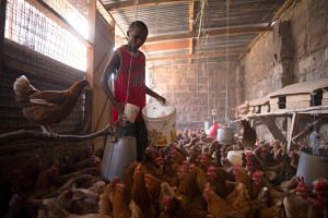 Kenyan farmer Victor Kyalo feeds his chickens food from an organics recycling company.