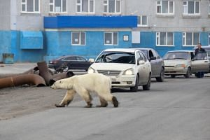 The female bear, with its feet caked in mud, is the first polar bear seen in the major Russian industrial city of Norilsk in more than 40 years, according to local environmentalists.