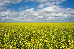 A canola crop on the Canadian prairies near Fort Macleod, Alberta, on July 11, 2011. Canadian Prime Minister Justin Trudeau said he believes canola is being used as a pawn in the US-China trade war.