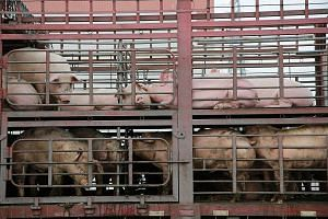 Pigs outside a slaughterhouse in Dongguan, Guangdong province. China last month said its sow herd had fallen by a record 23.9 per cent in May from a year earlier. PHOTO: REUTERS