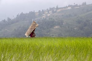 A farmer wearing traditional rain protection gear walks in a paddy field in Nuwakot village, Nepal.
