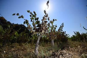 Vines badly burnt by the sun and heat in a vineyard in Restinclieres, near Montpellier, southern France, on June 30, 2019.