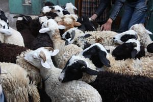 Sheep brought in for korban in 2015. Shipments of 3,700 sheep from Australia arrived in Singapore on Aug 8 and 9 for this year's korban ritual.