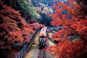 In autumn, the Sagano Scenic Railway sightseeing train in Kyoto takes passengers through a landscape wrapped in a blanket of flaming orange and crimson red leaves.