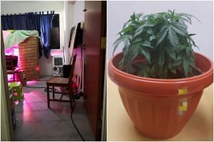 During the raid on the Yishun residential unit, officers from the Central Narcotics Bureau found a makeshift greenhouse with two pots of cannabis plants as well as printed and written instructions for cultivating cannabis plants.