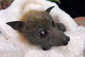 A fruit bat rescued from the recent drought on the Gold Coast.
