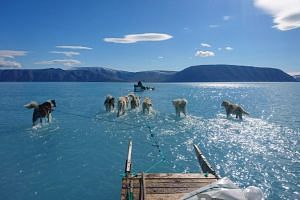 In a photo taken on June 13, sled dogs wade through water on top of a melting ice sheet during an expedition in north-western Greenland.