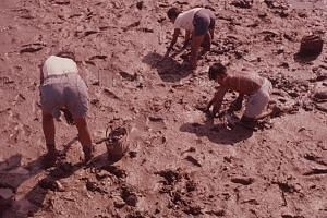 Men digging for shellfish, including cockles, at Sungei Punggol during the 1950s. Shellfish was a key ingredient for laksa and the slaked lime paste used in betel quids.