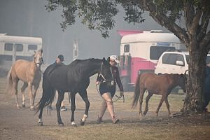 Horses being led to safety at the showgrounds in Taree, 350km north of Sydney, yesterday. PHOTO: AGENCE FRANCE-PRESSE