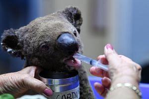 A dehydrated and injured koala receives treatment at the Koala Hospital in Port Macquarie on Nov 2, 2019, after its rescue from a bush fire.