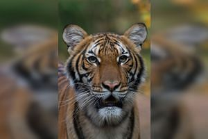Nadia, the 4-year-old female Malayan tiger, is expected to recover.