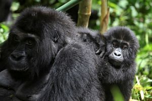 US officials said this is the first known instance of natural transmission to great apes.